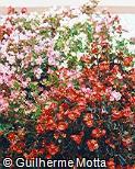 Begonia cucullata ´Organdy´