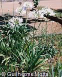 Agapanthus praecox subsp. orientalis ´Rancho White´