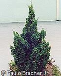 Juniperus chinensis ´Variegata´