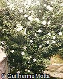 Hibiscus syriacus ´Totus Albus´