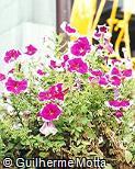 Petunia × hybrida ´Picotee Rose´