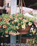 Petunia × hybrida ´Orchid´