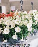 Petunia × hybrida
