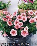 Petunia × hybrida ´Mirage´