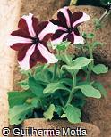 Petunia × hybrida ´Ultra´