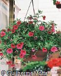 Petunia integrifolia