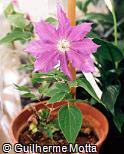 Clematis × hybrida