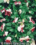 Viola x wittrockiana ´Imperial Frosty Rose´