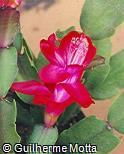 Schlumbergera truncata ´Thor-Alice´