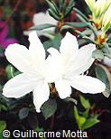 Rhododendron  ´Mrs. G. G. Gerbing´