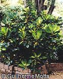 Codiaeum variegatum ´Green & Gold´