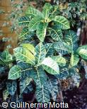 Codiaeum variegatum ´Davis´