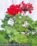 Pelargonium x hortorum ´Dark Red´