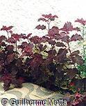 Plectranthus scutellarioides ´Blood Bath´