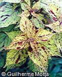 Plectranthus scutellarioides ´Frenzy´
