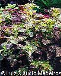 Plectranthus scutellarioides ´Peachy Keen´
