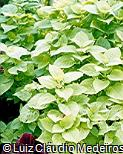 Plectranthus scutellarioides ´Green Giant´