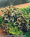 Plectranthus scutellarioides ´Stormy Weather´