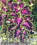 Plectranthus scutellarioides ´Turmoil´