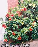 Hibiscus rosa-sinensis ´Razzie Dazzie´