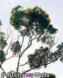 Vochysia tucanorum