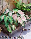 Caladium bicolor ´E. O. Orpet´