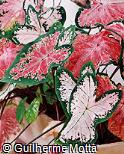 Caladium bicolor ´Pink Beauty´