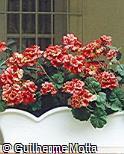 Pelargonium zonale ´Lorena´
