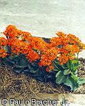 Kalanchoe blossfeldiana ´Pico´