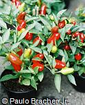 Capsicum annuum var. conoide ´Red Chile´