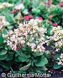 Kalanchoe blossfeldiana ´White Rose´