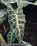 Alocasia × mortfontanensis
