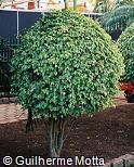 Ficus benjamina ´Golden King´
