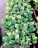 Peperomia obtusifolia ´Marmorata´