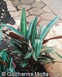 Stromanthe thalia ´Sanguinea´