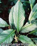 Calathea argyraea