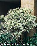 Pseuderanthemum carruthersii ´Variegatum´