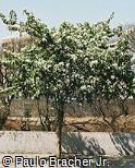 Bauhinia variegata var. candida