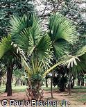 Corypha umbraculifera