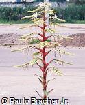 Vriesea imperialis