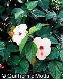 Hibiscus rosa-sinensis ´Fine Print´