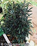 Schefflera elegantissima