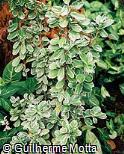 Euonymus japonicus ´Albo-marginata´
