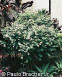 Breynia disticha