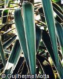 Yucca gigantea ´Variegata´