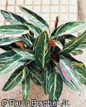 Stromanthe thalia ´Bicolor´