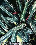 Stromanthe thalia ´Tricolor´
