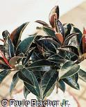 Ficus elastica ´Decora´