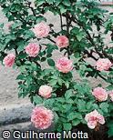 Rosa × rugosa
