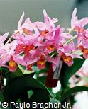Guarianthe × guatemalensis